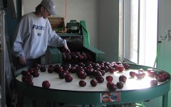 Brad Schulz, brother of Mrs. Kristi Schulz, cleans apples at their orchard in Indiana. Mrs. Schulz has decided to try something different and will be working on a similar orchard next year.