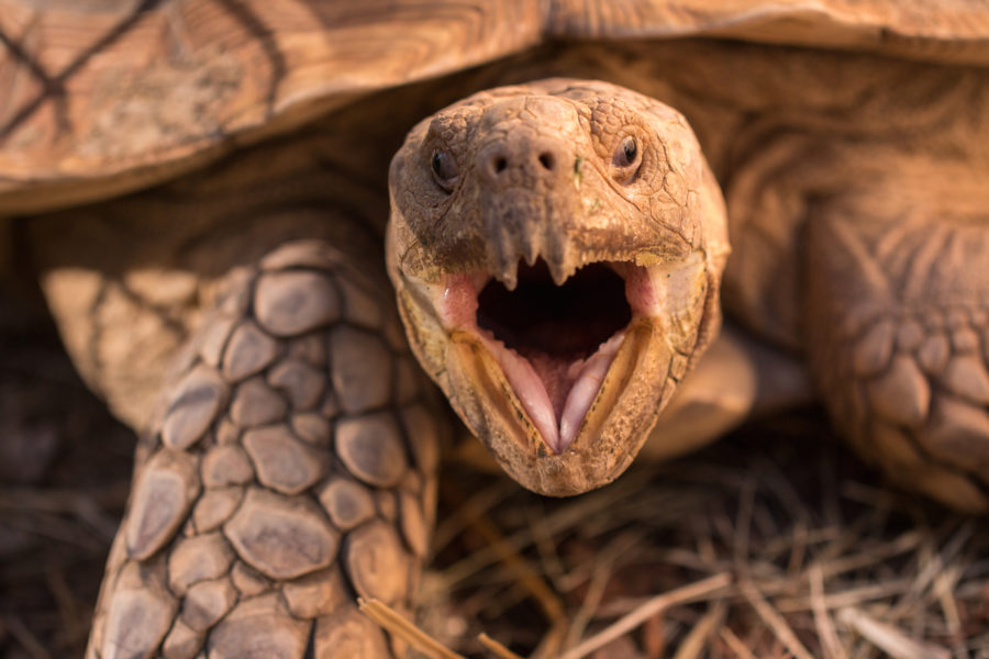 A+tortoise+yawns+into+the+camera+at+the+tortoise+exhibit.+The+exhibit+was+built+with+low+fences+so+that+guests+could+pet+the+tortoises.